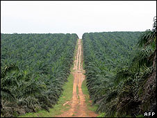 A palm oil plantation in Ivory Coast
