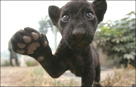 Black panther in zoo in Peru