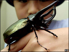 Caucasus giant beetle (archive)