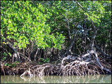 Mangroves (Image: Carolin Wahnbaeck/IUCN)