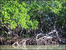 Mangroves (Image: Carolin Wahnbaeck/IUCN)