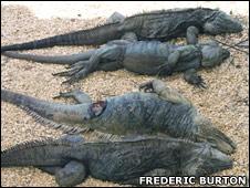 Dead iguana (Fred Burton)
