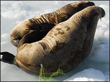 Tagged walruses (Rune Dietz)