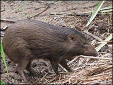 Assam pygmy hog: Pic Durrell Wildlife Conservation Trust