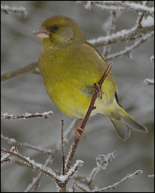 A greenfinch (Pic: Richard Brooks/RSPB)