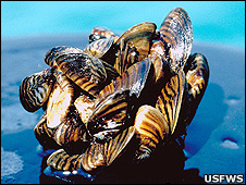 Zebra mussels (Image: US Fish and Wildlife Service)