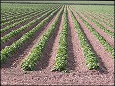 Generic picture of potatoes growing in a field