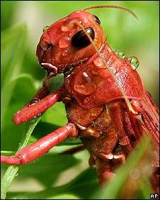An African locust