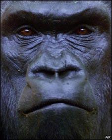 Gorilla, AP