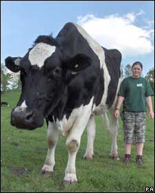 Chilli - who may be Britain's tallest bullock