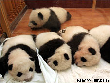 File image of baby pandas at the Wolong panda reserve