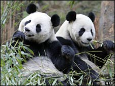 File image of two pandas having breakfast at the Wolong panda reserve