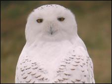 A snowy owl (Pic: Martin Scott/RSPB)