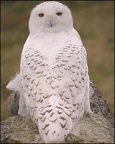 A snowy owl on Lewis (Pic: Martin Scott/RSPB)