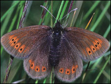 Mountain ringlet (Pic: Ken Willmott/Butterfly Conservation Scotland)