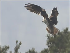 Osprey landing at Bassenthwaite