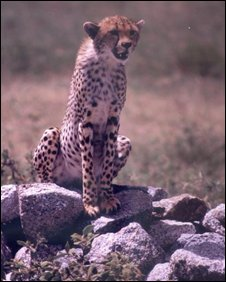 Cheetah (BBC)