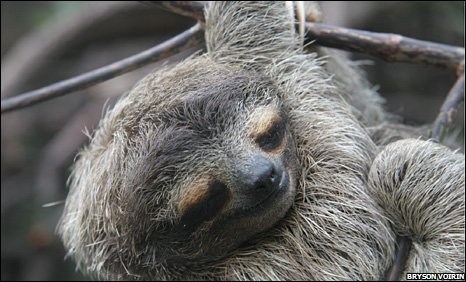 Sleeping sloth (Image: Bryson Voirin)