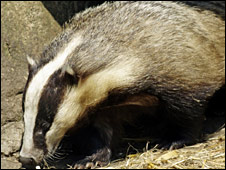 Badger - Picture by Science Photo Library