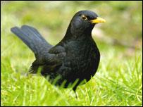 Черный дрозд (фото PA)