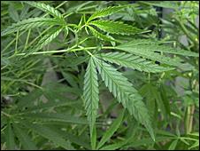 Cannabis plants (generic)