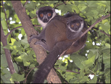 Lemur with baby (Image: David Haring/Duke University Lemur Center)