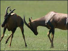 Topi antelope in Africa