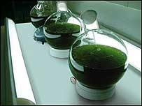 """Tubos que contienen algas preparadas para crear """"biopetróleo"""""""