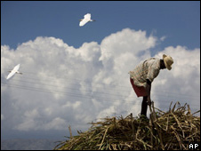 A man ties sugar cane on top of a truck in Grantier, Haiti (file image)
