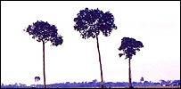 Árboles amazónicos