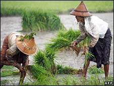 Burmese farmers plant rice at a rice field in Rangoon
