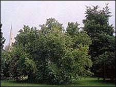 Milton's mulberry tree