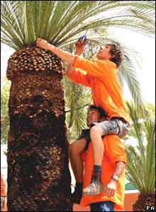 Gardeners at work on a palm tree at the Chelsea Flower Show