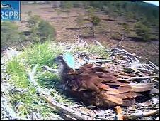 Osprey at Loch Garten nest site (Pic: RSPB)
