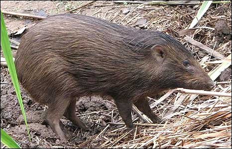 Female pygmy hog