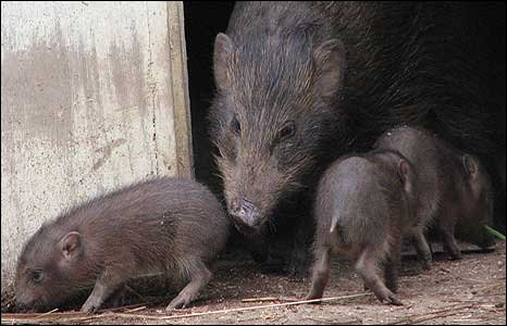 Mother hog with babies