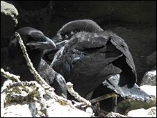 Raven chicks