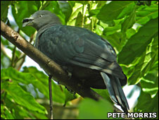 Marquesan Imperial-pigeon (Pete Morris)