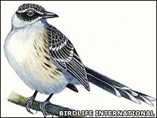 Floreana mockingbird (Birdlife Intl)