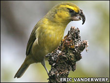 Maui Parrotbill (Eric VanderWerf)