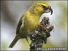 Maui Parrotbill (Eric VanderWerf)