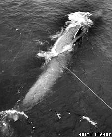 Harpooned whale. Image: Getty