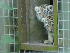 Tiger cubs at Port Lympne Wild Animal Park