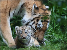 Tigers at Port Lympne Wild Animal Park