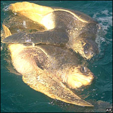 Olive Ridley turtles. Image: AP
