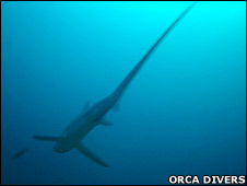 Thresher shark. Image: Orca Divers