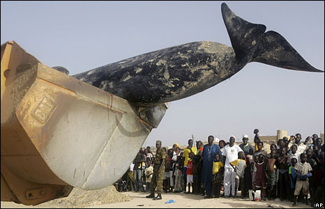 A bulldozer removing the carcass of a dead whale from a beach in Senegal