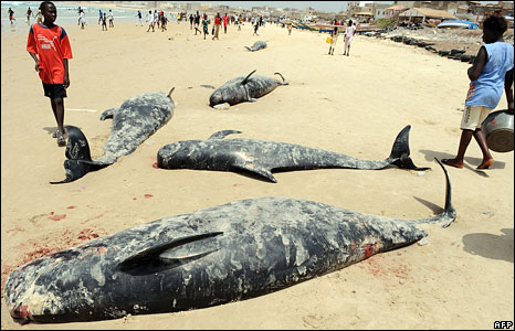 Dead whales on a beach in Senegal