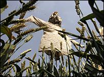 Espantapájaros en un campo de trigo en China