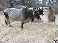 Campesino corta el trigo en Allahabad, India